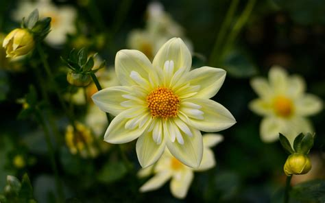 Dahlia Yellow Flowers High Quality Flower Wallpaper For