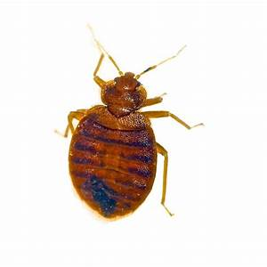 bed bug control nottingham bed bug removal confirm a kill With bed bug remediation