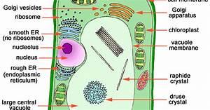 Plant Life  Eukaryotic Cells