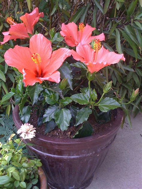 sammy s patio garden potted hibiscus