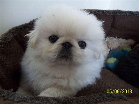 gorgeous pedigree pekingese puppy ashbourne derbyshire