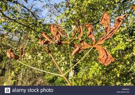blätter werden braun und trocken kastanienblatt stockfotos kastanienblatt bilder seite