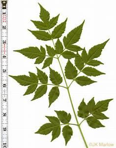 Compound Leaf Examples | www.pixshark.com - Images ...