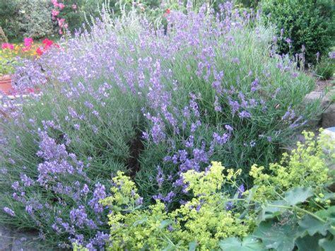 lavendel dwarf blue lavandula angustifolia dwarf blue