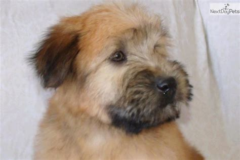 Do Wheaten Terrier Puppies Shed by Top Breeders Of Soft Coated Wheaten Terriers Uk
