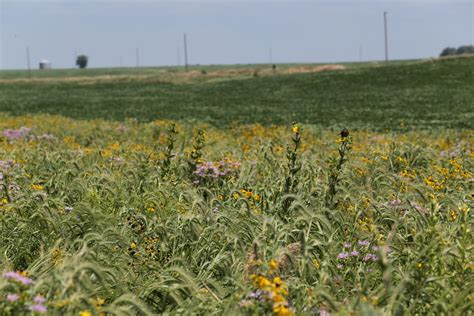 Strips Of Native Prairie Plants Could Reduce Pollution