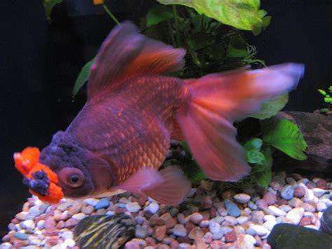 pompom goldfish wikipedia