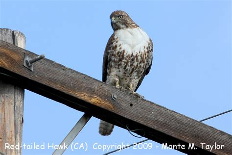 california hawks images reverse search