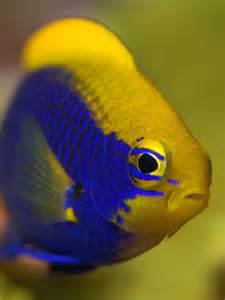 Star Ki Damsel Fish