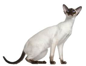 types of siamese cats the felines from thailand siamese cat types and related facts
