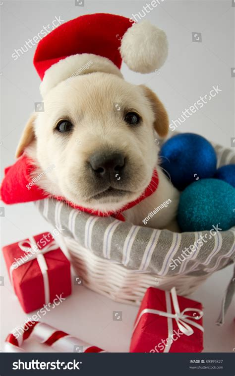 merry christmas portrait of cute labrador puppy in santa hat 89399827
