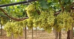 Achat Pied De Vigne Raisin De Table : menace sur le raisin de table de la r gion puglia ~ Nature-et-papiers.com Idées de Décoration