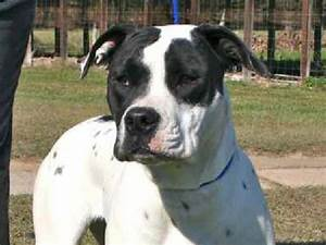 Black and white american bulldog pictures