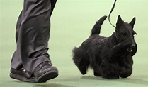 Westminster dog show 2010 results: Scottish Terrier 'Sadie ...