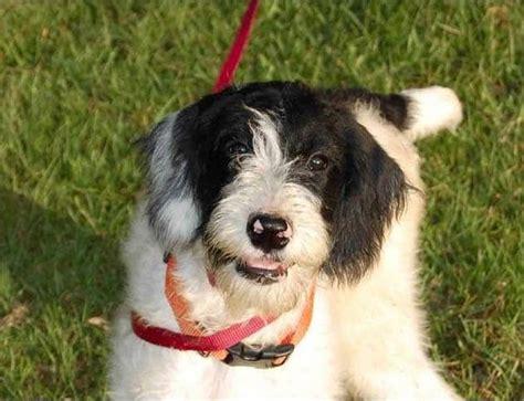 Top  Mock Faked Poodle Cross Breeds Mix Breeds