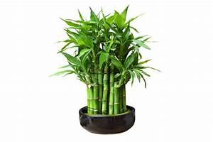 Bambous En Pot : le bambou un c t naturel dans la d coration de maison ~ Melissatoandfro.com Idées de Décoration