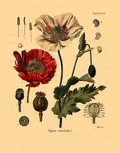 antique botanical print opium poppy flowers and seeds ...