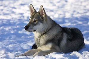 9 Wolf-Like Dog Breeds: Know the Difference and Choose ...