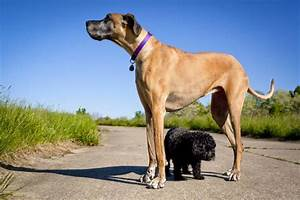 Top 10 Largest Dog Breeds In the World - Puppies Club ...