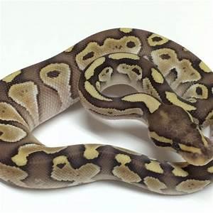 Lesser Ball Python For Sale - xyzReptiles