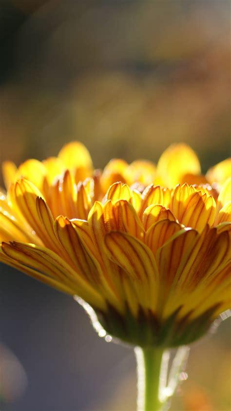 wallpaper yellow flower hd  flowers