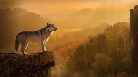 1080p Lone Wolf Hd Wallpaper by Free Hd Autumn Wolf Desktop Wallpaper In 4k 0011