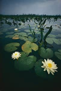 Okefenokee Swamp Water Lily