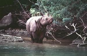 Javan Rhinoceros - Characteristics, Habitat & Breeding ...