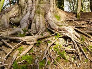 Old Trees With Roots | www.pixshark.com - Images Galleries ...