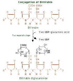 ... bilirubin. The major product is bilirubin diglucuronide (pronounce Bilirubin