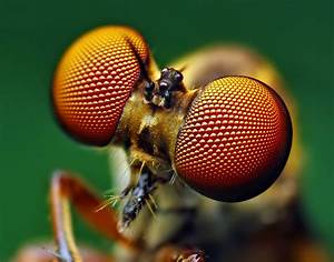 File:Eyes of a Holcocephala fusca Robber Fly.jpg ...