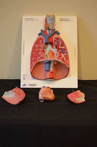37 best images about Respiratory system on Pinterest ...