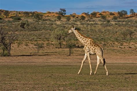 Walking-giraffe.jpg