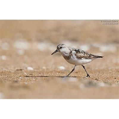 Sanderling - Calidris alba ref:jari187970