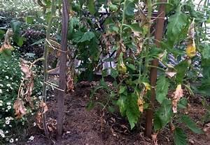 Feuille De Tomate : pourquoi les feuilles de mes tomates s chent elles ~ Melissatoandfro.com Idées de Décoration