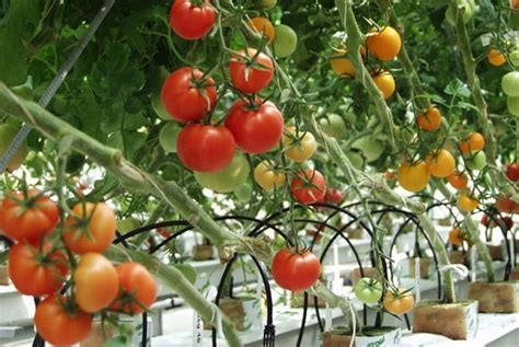 cultivation of tomatoes tomato cultivation guide for beginners agri farming