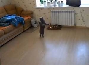 Cat Walking On Its Hind Legs Is Briefly Hilarious (VIDEO)