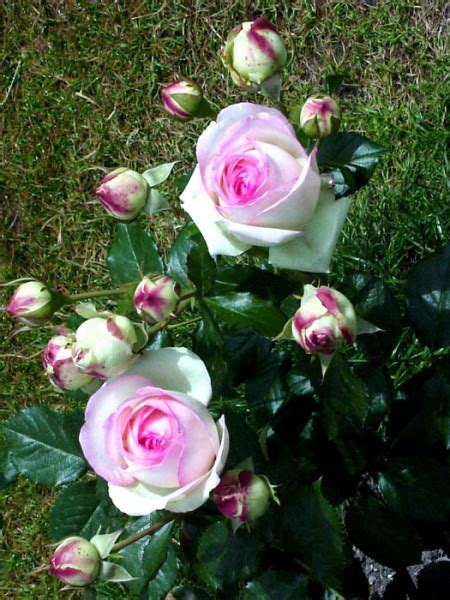 Blüte Der Mini Eden Rose