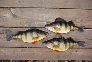 Facts About The Life And Behavior Of Yellow Perch