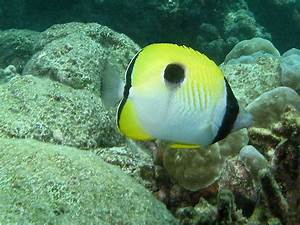 Teardrop butterflyfish Wallpapers - HD Wallpapers 3464