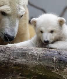 Cute Baby Polar Bear