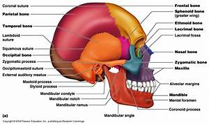 Chapter7 Axial & Appendicular Skeletal System at Mountain ...