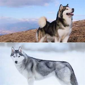 Malamute vs Husky – Which Dog Is King of Winter? – All ...
