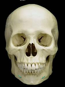 Skull Quiz-Mandible - Biology 2234 with Gordon at ...