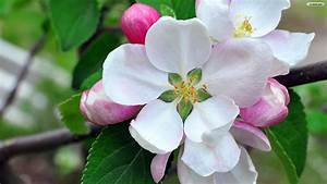 Magnolia Flower Wallpaper