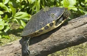 Florida Water Turtles