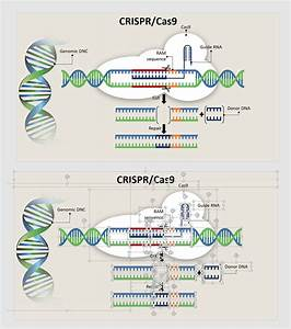 Entry  7 By Ga1ina For Diagram Of Crispr  Cas9 Work Flow