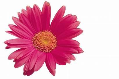 Flower Fundo Scent Air Flor Flores Transparente