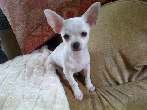 white teacup chihuahua puppies sale zoe fans blog cute