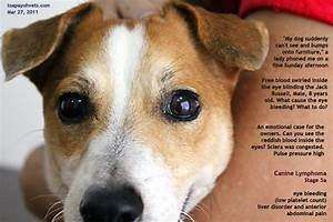 canine lymphoma eye bleeding toapayohvets